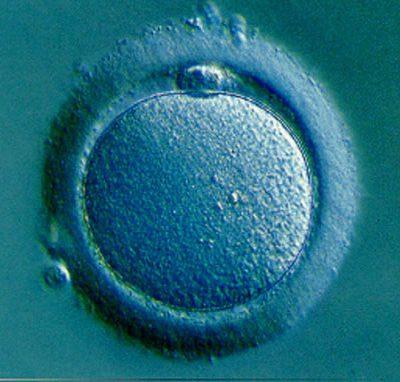 human fertilized egg